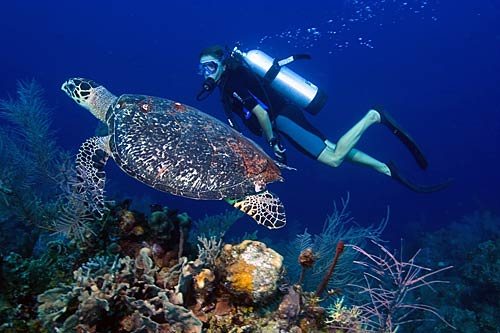 Belize Barrier Reef Diving With Turtle