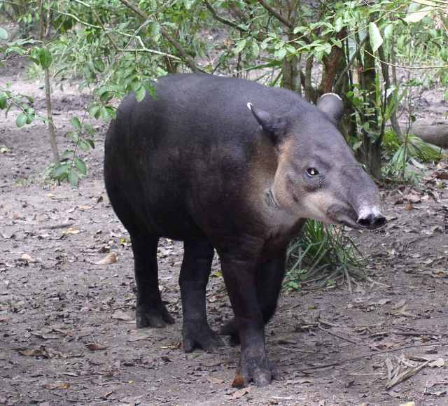 Tapir The National Animal Of Belize