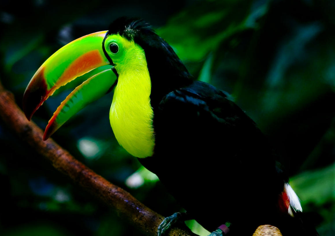Keel-billed Toucan - National Bird of Belize