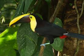 There are Many Toucan's at Mayacan Beach Resort