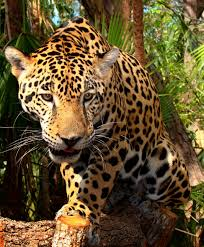 The Elusive Jaguar