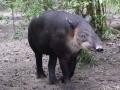 Tapir The National Animal Of Belize