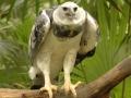 Harpia Harpyja or Harpy Eagle