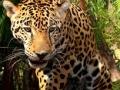 The Elusive Jaguar
