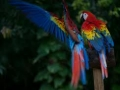 Scarlet Macaws Are Everywhere