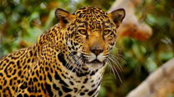 Mayacan Beach Resort is only 7 miles from the world's only Jaguar Preserve!